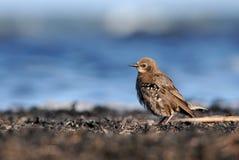 Starling on the seashore. Sturnus vulgaris Stock Photos