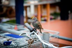 Starling seated on a bicycle handle bar Stock Photos