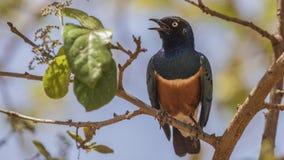 Starling Singing magnífico en árbol foto de archivo