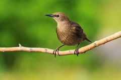 Starling sits on a branch   green background   sunny day Royalty Free Stock Photography