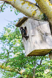 Starling sits near it birdhouse Royalty Free Stock Image