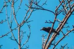 The starling sits on the tree branch of his beak are bugs for posterity. Concept of care in the wild nature.  stock images