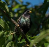 Starling sitting on a branch of a cherry tree Royalty Free Stock Photo