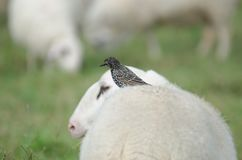 Starling sitting on sheeps back. Location Poller Wiesen, Cologne Royalty Free Stock Photos