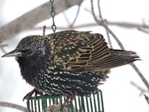 Starling sitting on top of Suet Cage Royalty Free Stock Photos