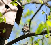 Starling Sitting on Tree near Birdhouse Stock Photography