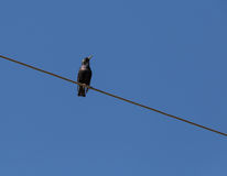 Starling sitting on wire. Against blue sky Stock Photo