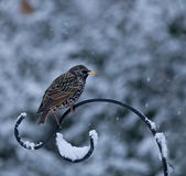 Starling in Snow Royalty Free Stock Photography