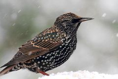 Starling In Snow Royalty Free Stock Photo