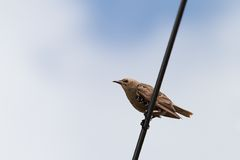 Starling standing on electric wire Royalty Free Stock Photos