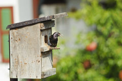Starling standing on nestling nest. Royalty Free Stock Images