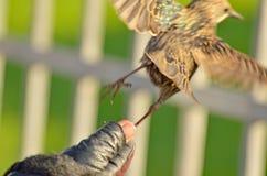 Starling stijgt met zijn handen op stock fotografie