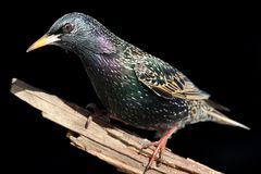 Starling On Stump Royalty Free Stock Photo