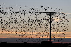Starling, Sturnus gemein Stockbild