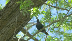 Starling Sturnus unicolor almacen de video