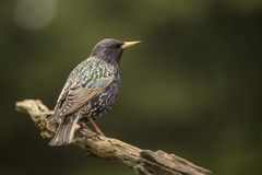 starling sturnus vulgaris Общая птица в больших стадах стоковые изображения