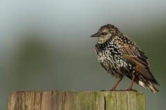 Starling, Sturnus vulgaris Stock Photos