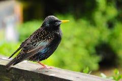 starling sturnus vulgaris Стоковое Фото