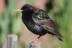 Starling (sturnus vulgaris) Images libres de droits