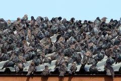 Starling, Sturnus vulgaris Immagine Stock Libera da Diritti