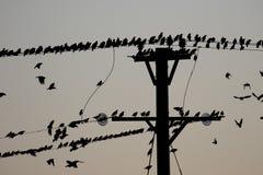 Starling, Sturnus vulgaris Fotografia Stock Libera da Diritti