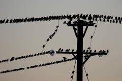 Starling, Sturnus vulgaris Fotografie Stock