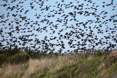 Starling, Sturnus vulgaris Immagini Stock Libere da Diritti