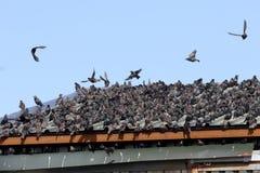 Starling, Sturnus vulgaris Immagine Stock