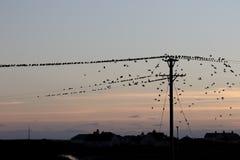 Starling, Sturnus vulgaris Fotografie Stock Libere da Diritti