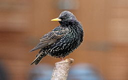 Starling (sturnus vulgaris) Photographie stock