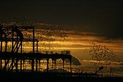 Starling, Sturnus vulgaris. Brighton pier roost, Sussex, Autumn Stock Image