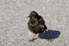 Starling, Sturnus vulgaris, Stock Photo