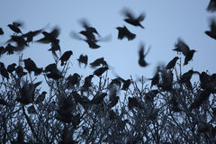Starling, Sturnus vulgaris Royalty Free Stock Image