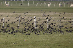 Starling, Sturnus vulgaris Royalty Free Stock Photos