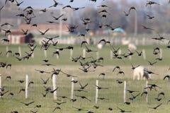 Starling, Sturnus vulgaris Royalty Free Stock Photo