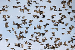 Starling, Sturnus vulgaris Royalty Free Stock Photography