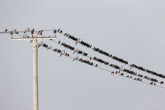 Starling, Sturnus vulgaris. Flock on wire, Kent, March 2014 Royalty Free Stock Photos
