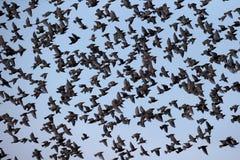 Starling, Sturnus vulgaris Stock Images
