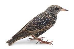 Starling Royalty Free Stock Image