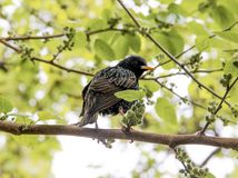Starling Sturnus vulgaris perched on a tree branch. In spring Stock Image