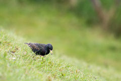 Starling, Sturnus vulgaris Royalty Free Stock Photo