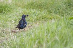 Starling (Sturnus vulgaris). Spotted outdoors in Dublin, Ireland Royalty Free Stock Images