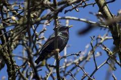 Starling (Sturnus-vulgarus) Stock Fotografie