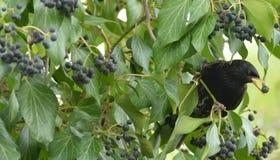 Starling Sturnus Wulgaris in Oudere Sambucus L stock afbeeldingen