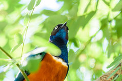 Starling superbe Photo stock