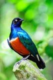 Starling superbe Photos stock