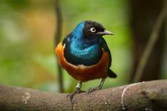 Starling superbo Fotografie Stock