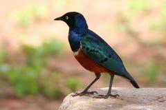 Starling superbo Fotografia Stock Libera da Diritti
