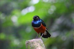 Starling superbo africano che sembra di destra Fotografia Stock