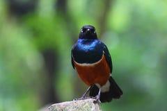Starling superbo africano sembrante arrabbiato Fotografia Stock